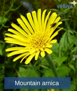 Mountain arnica in Belarus