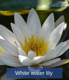 White water lily in Belarus