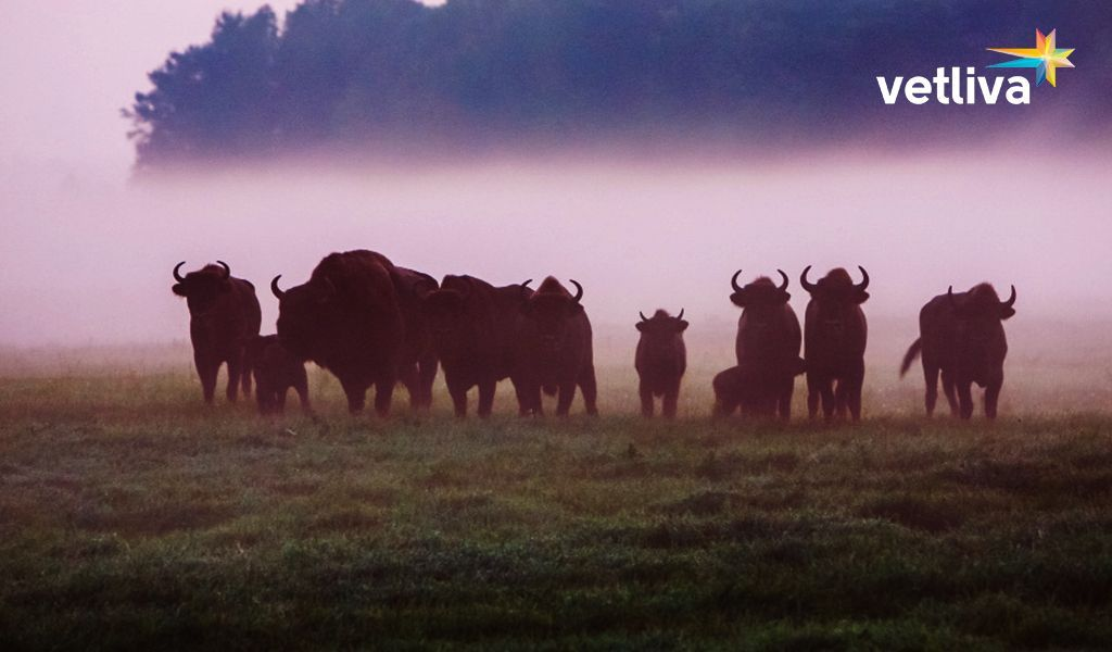European bisons in Belarus