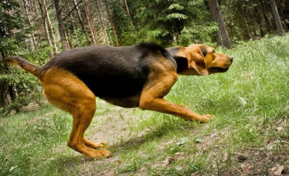 The original Belarusian breed of dogs is restored